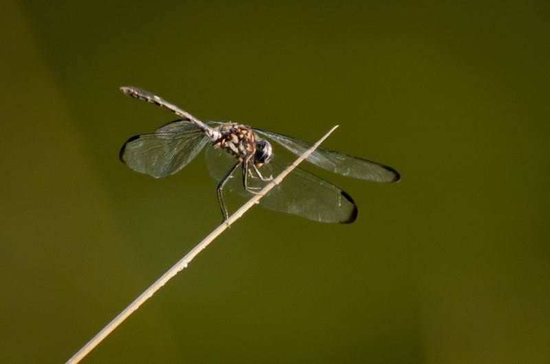 dragonfly_6.jpg