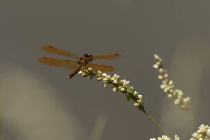dragonfly_8.jpg