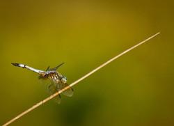 dragonfly_5.jpg