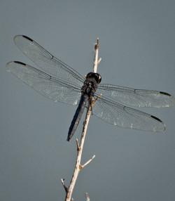 dragonfly_3.jpg