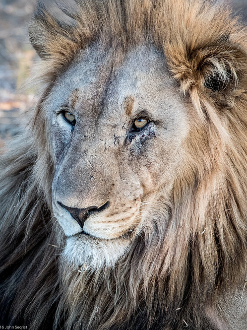 Lion Face frontal