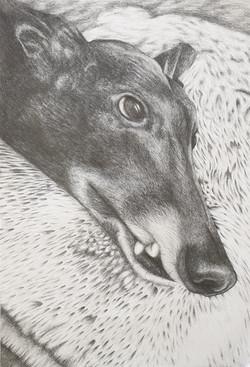 Luna the Greyhound