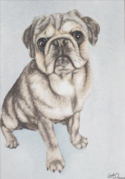 Apollo the Pug