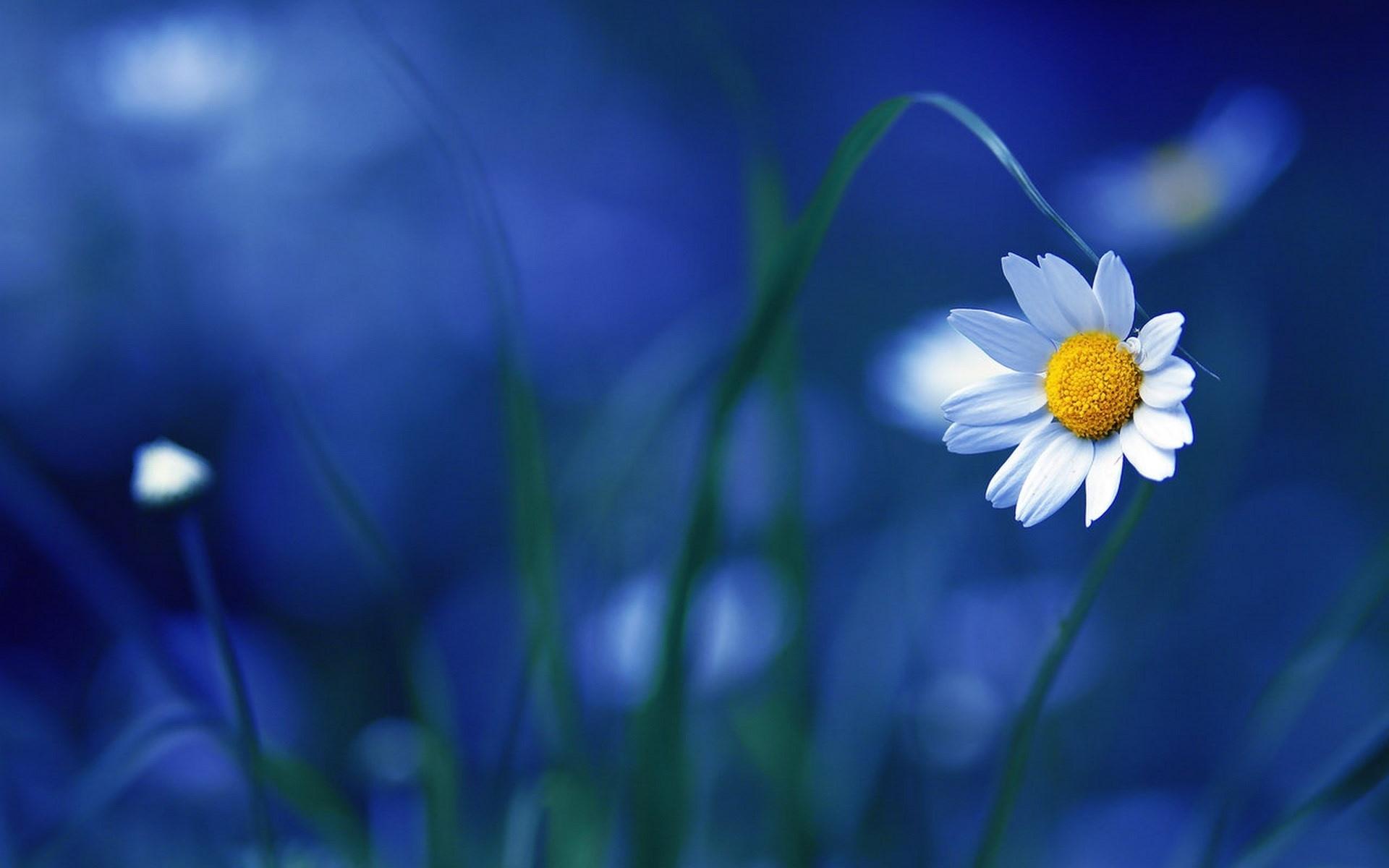 flower_chamomile_macro_1920x1200.jpg