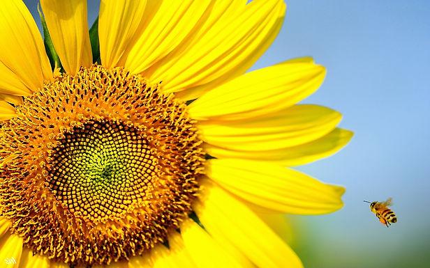 bee-sunflower.jpg