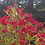 Thumbnail: Oleander Pink (Nerium oleander) Flower Essence