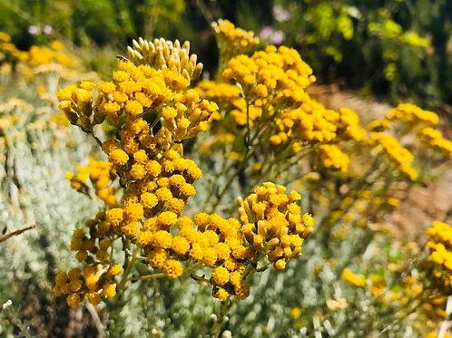 Immortelle (Helichrysum arenarium) Flower Essence