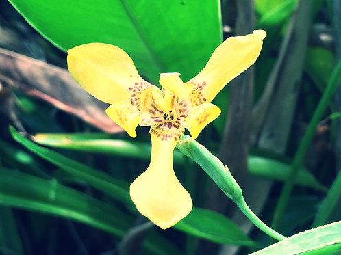 Apostle plant (Trimezia steyermarkii) Flower Essence