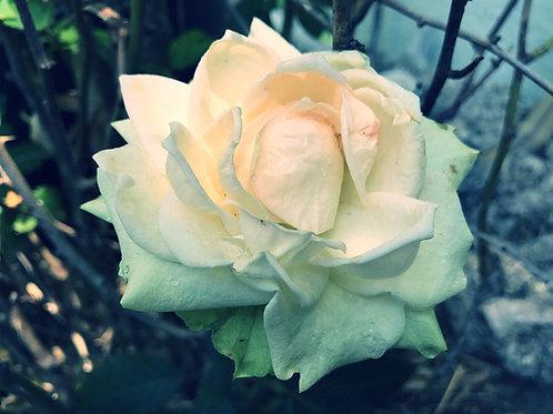 Rose (Rosa × damascena) Flower Essence