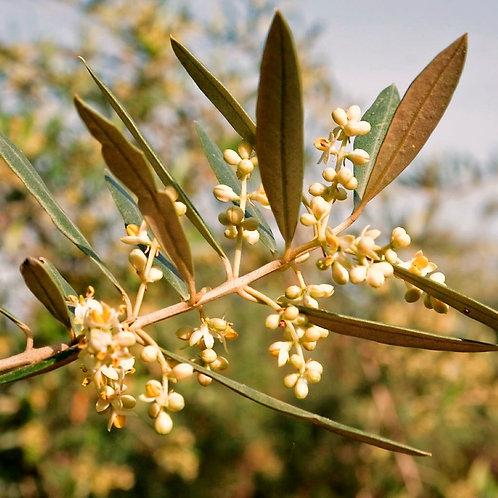 Olive (Olea europea)