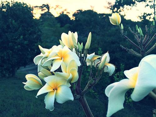 Frangipani White (Plumeria Alba) Flower Essence