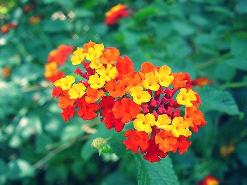 Lantana (Lantana camera) Flower Essence