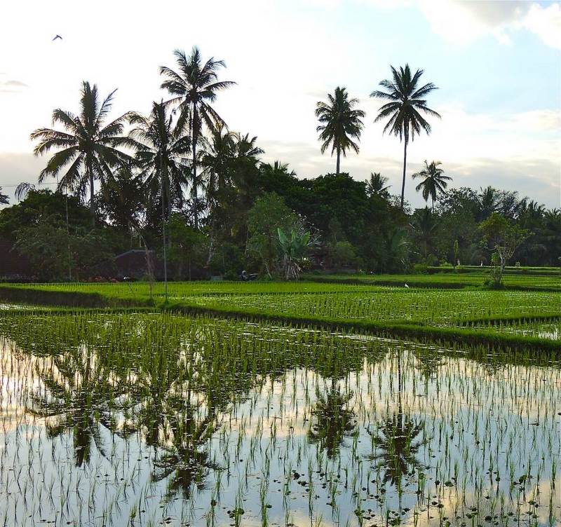 Rice paddies in Pejeng