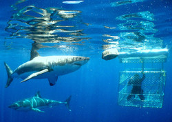 Exciting shark cage diving