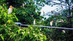 Admire the herons of Petulu