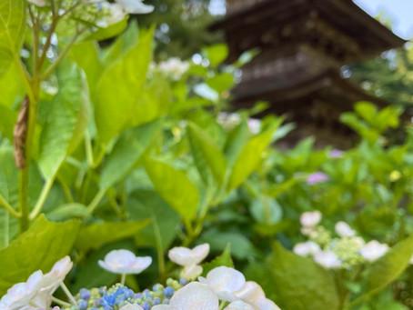 【季節の情報】アジサイが咲き始めました!