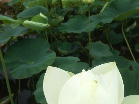 【7月4連休にも!】蓮の花に心癒されて