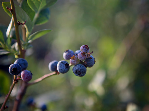 Pre-picked Blueberries
