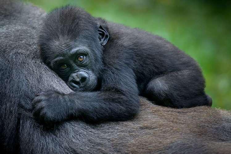 Gorilla Trekking - was very close to being extinct.