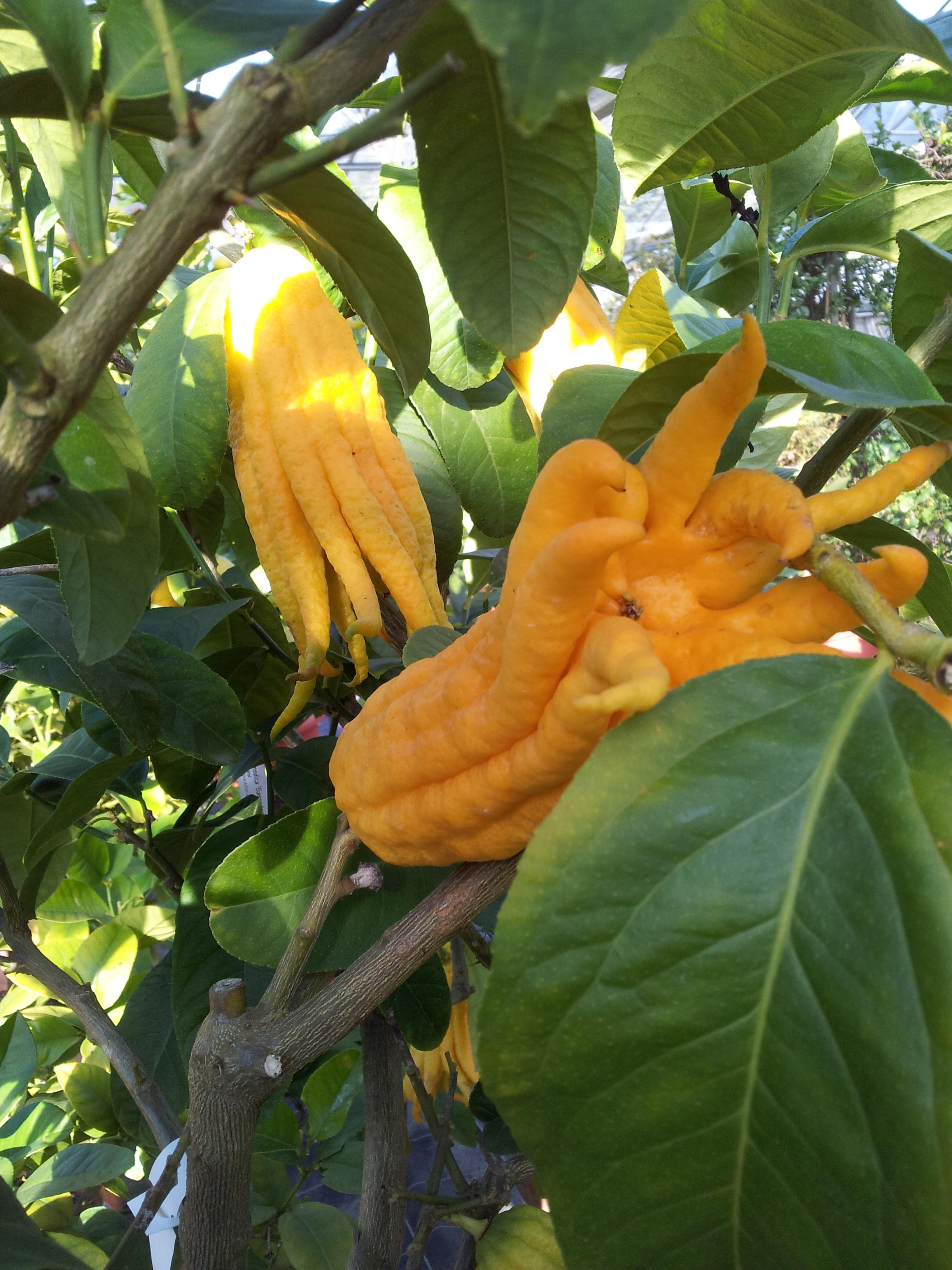 Citrus medica, Buddhas Hand