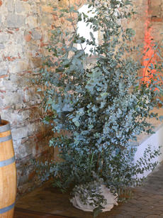 Eucalyptusbüsche