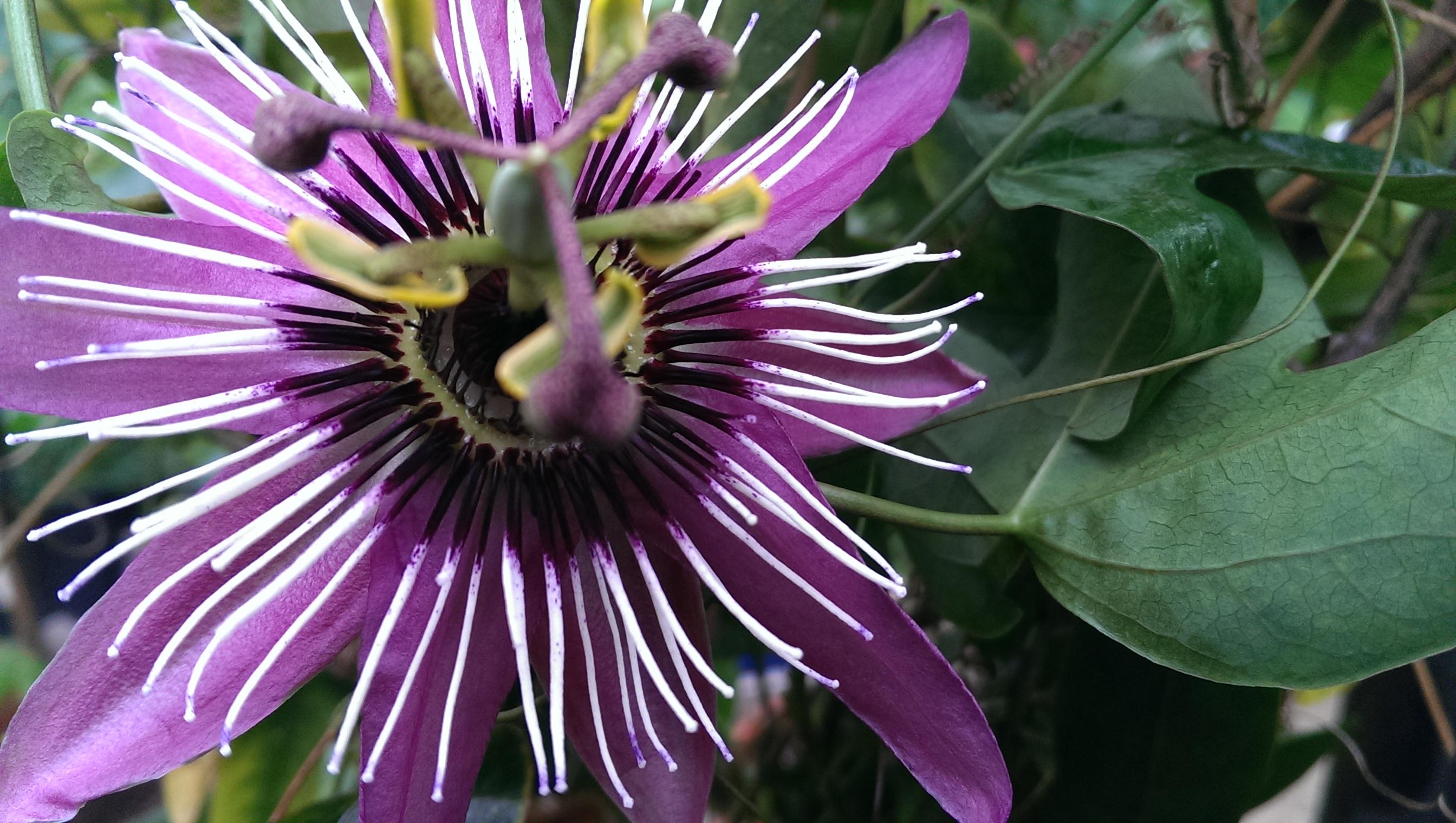 Passiflora caerulea, Passionsblume