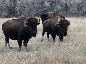 Wild Idea Buffalo