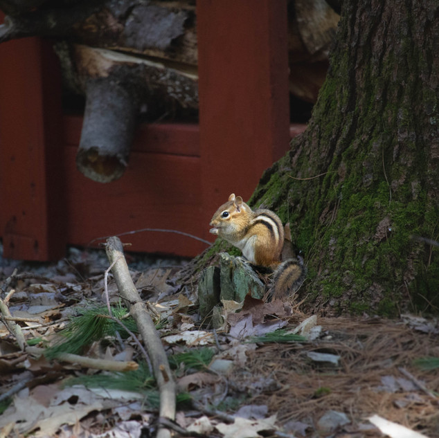 Chipmunk Caught Red-handed