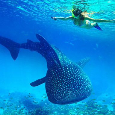 Whale Shark in Oslob
