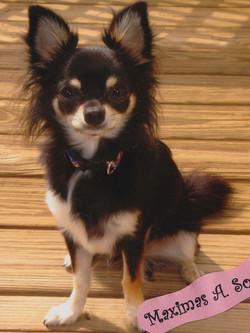 Maximus, the Chihuahua