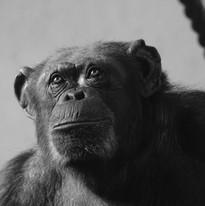 Sony A64 - Chimp