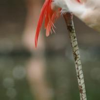 Sony A64 - Flamingo