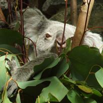 Sony A64 - Koala