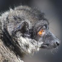 Sony A64 - Lemur
