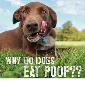 Κοπροφαγία σκύλου