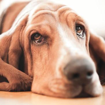 Για ποιον λόγο δακρύζει ο σκύλος μας;