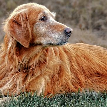 Πώς πρέπει να φροντίζω τον ηλικιωμένο σκύλο μου;