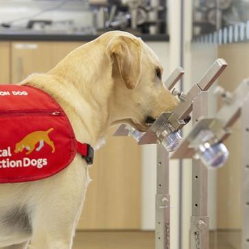 Μπορούν οι σκύλοι να ανιχνεύσουν τον COVID-19;