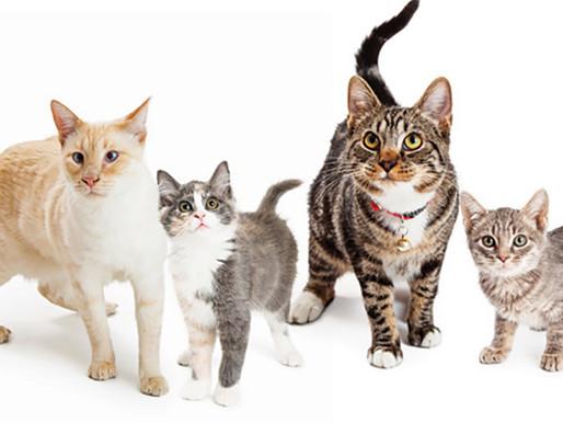 Φυλές γάτας Μακρύτριχος