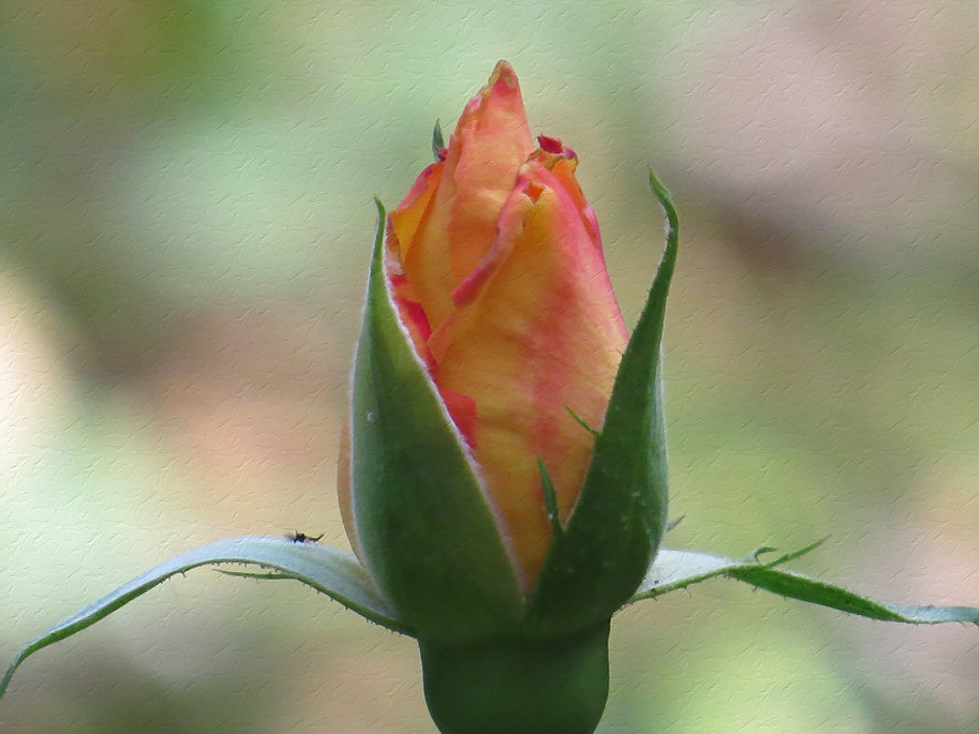 Photograph of an unopened tulip, photograph of a tulip bud, photograph by Jodi DiLiberto, digitally enhanced photograph by Jodi DiLiberto