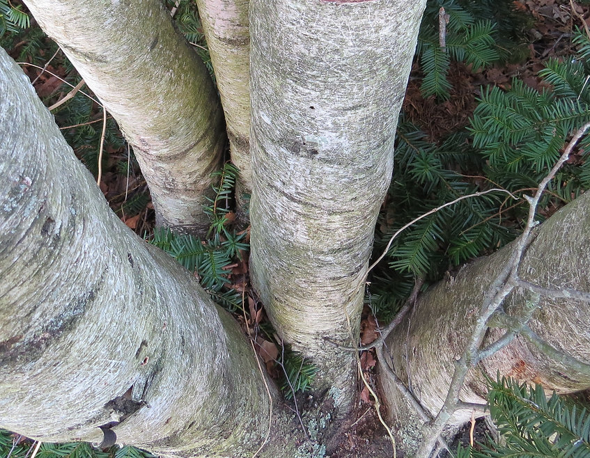 Photograph of birch trees and evergreen branches,photograph by Jodi DiLiberto