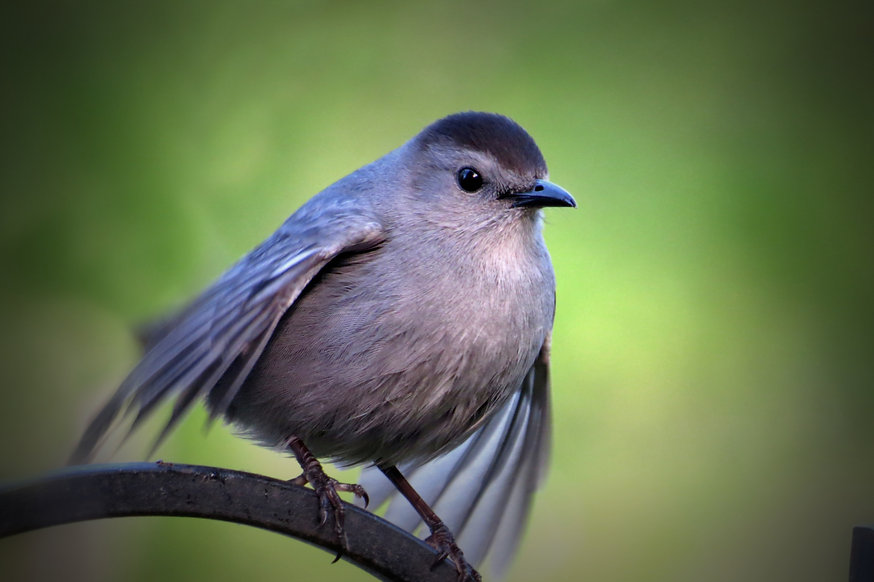 Photograph of a grey catbird with puffed out feathers and its wings raised to fly. Photograph by Jodi DiLiberto