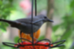 Photograph of a catbird, photo of a catbird,photograph of a catbird at an oriole feeder,photograph of spring,photograph by Jodi DiLiberto
