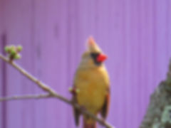 Photograph of a rare yellow cardinal, photograph of nature, photograph of a cardinal and purple barn, photograph by Jodi DiLiberto