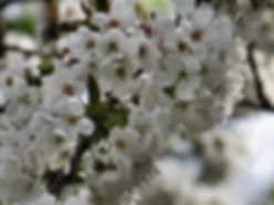 photograph of white blackberry blossoms, photograph of white flowers, photograph of spring,photo of blackberry blossoms, photograph by Jodi DiLiberto