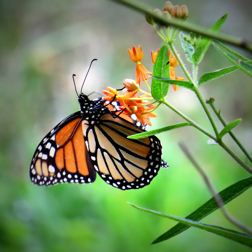 Photograph of a monarch butterfly drinking nextar from milkweed on a green background,photo by Jodi DiLiberto