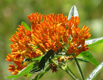 photograph of milkweed, photograph of asclepias, photograph of orange milkweed, photograph of summer, photograph by Jodi DiLiberto