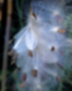 Photograph of asclepias which has gone to seed. Photograph by Jodi DiLiberto