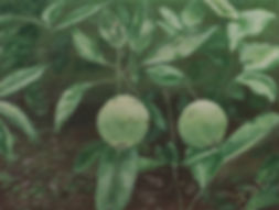 painting of apples,acrylic painting,botanical painting,painting of spring, painting of fruit,painting by Jodi DiLiberto