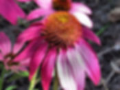 Photograph of coneflower,photograph of Echinacea,photograph of flower,photo of coneflower,photograph of summer,photograph by Jodi DiLiberto